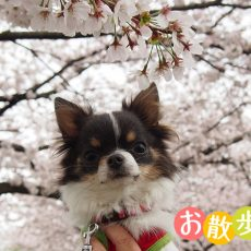 うちのチワワとやまちゃんのゆるさんぽ 桜が綺麗なサイクリングロード編