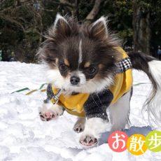 うちのチワワとやまちゃんのゆるさんぽ 雪にびっくり編